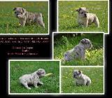 Französiche Bulldogge in Schoko Merle / Brindle - Bösel