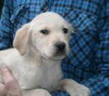 Labrador Mischlings Welpen - Gnarrenburg