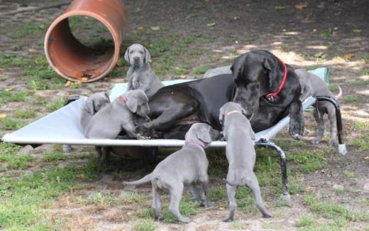 Deutsche Doggen Welpen blau - Selsingen