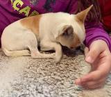 Chihuahua Hündin reinrassig - Bremen