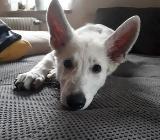 Weißer Schäferhund Welpe sucht ein liebes Zuhause - Borstel