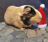 Brindle Meerschweinchen Mädchen 9 Monate - Wardenburg