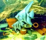 """Tolle Blaue """"Blue Shine"""" Skalare - Pterophyllum scalare - ca. 3cm - Wagenfeld"""