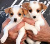 Wunderschönen Jack Russell Terrier welpen  abzugeben - Wagenfeld