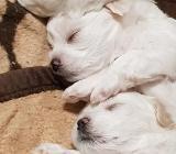 Reinrassige Malteser Welpen 1 Weibchen und 1 Rüde - Holdorf