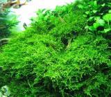 Christmas Moos - Vesicularia montagnei - SONDERPREIS - Wagenfeld