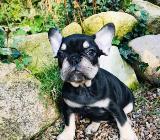 Französische Bulldoggen Welpe Rüde - Hambergen