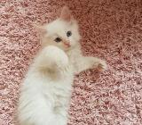 Reinrassige Ragdoll Kitten dürfen ab jetzt besucht werden - Jever
