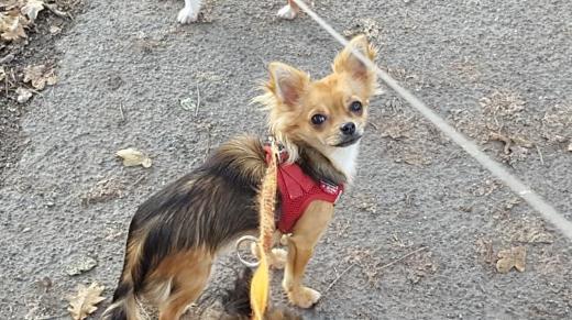 Chihuahua Hündin Welpe sucht liebevolles Zuhause - Cloppenburg
