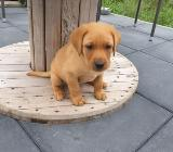 Süße reinrassige Labrador Welpen foxred suchen ein neues Zuhause - Cappeln (Oldenburg)
