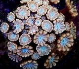 Korallenauktion heute ab 20:15h - 150 Ableger viele bereits ab 1 EUR Startpreis - Korallenableger - Wilhelmshaven
