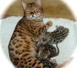 Bengalen und Bengalinen :) Bengal Kitten Katzen Kater Katze - Barnstorf