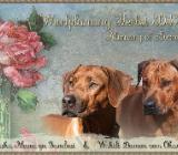 Rhodesian Ridgeback Welpen Oktober 2019 - Rotenburg (Wümme)