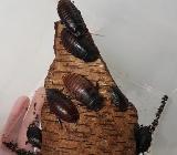 Madagaskar Fauchschaben Zuchtansatz - Harpstedt