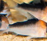 Panzerwelse Duplicareus - Corydoras duplicareus - Top gefärbt - Wagenfeld