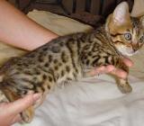 savannah und bengal Katze - Jever