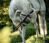 Freie Pferdeboxen im Ammerland / Niedersachsen - Westerstede