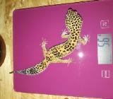 1.0 Leopardgecko - Damme