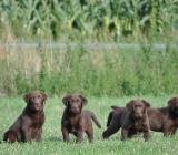 Die fantastischen 4 Labrador Welpen in dark chocolate - mit Papieren - bereit für den Auszug - Rehden