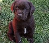 Labrador Welpe aus VDH Zucht - Twistringen