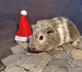 Silber agouti weiß Meerschweinchen 4 Monate Mädchen - Wardenburg