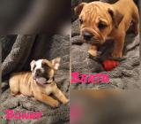 Alternativ Englisch Bulldog Welpen / OEB Bulldog - Bothel