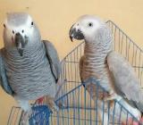 afrikanische graue Papageien des Jungen und des Mädchens - Bremen