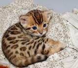 Reinrassige Bengal Kitten - Zetel