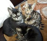 Süße Bengal Mix Kitten - Barnstorf