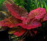 Roter Tigerlotus - Blühende Aquariumpflanze - Tolle Farbe - Wagenfeld