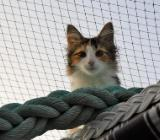 Norwegische Waldkatzen Kitten mit Paapieren - Otterndorf