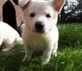 Weiße Schäferhund Welpen suchen ein liebes Zuhause - Borstel
