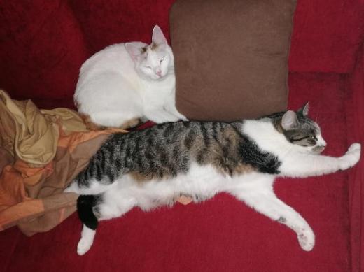 2 Katzen abzugeben, Hauskatzen - Bremen