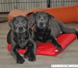 Labrador Welpen in charcoal - 9 Wochen alt - abgabebereit - mit Ahnentafeln - Rehden