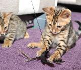 Bengal und savannah Kitten Edle Schmuseleoparden fürs Wohnzimmer - Verden (Aller)