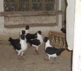 Modeneser Gassi schwarz, Zuchtpaare zu verkaufen - Barnstorf