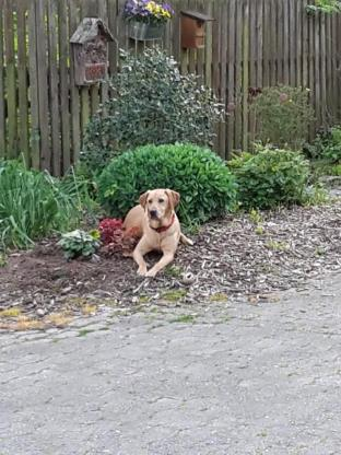 Labrador-Mix Peanut, 5 Jahre, Tierschutz - Cuxhaven