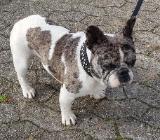 Deckrüde Französische Bulldogge Merle - Zeven