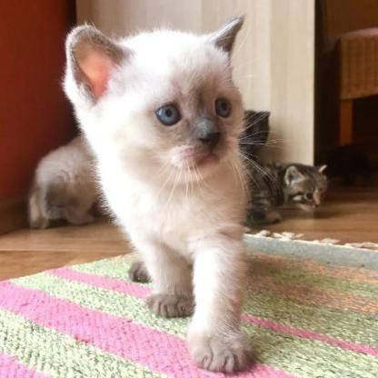 Scottish fold straight Kitten Kätzchen BKH Katzenbabys - Friesoythe