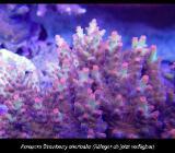 Korallenableger  Acropora Strawberry shortcake - Wildeshausen