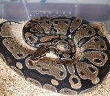 Python regius Classic 1.1 - Harpstedt