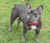Französische Bulldogge Hündin 2Jahre blue+tan mit ZTP von Tierheilpraktikerin - Fintel