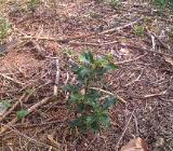 Ilex Solitär-und Heckenpflanze zum Selbstausgraben - Stuhr