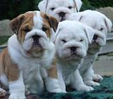 Englisch Bulldog Welpen zu verkaufen jetzt - Saterland