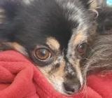 Chihuahua Hündin - Sande