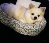 Chihuahua Reihnrassig sucht ein neues Zuhause - Bremen