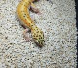 Leopardgecko weibchen - Oldenburg (Oldenburg)