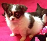 Chihuahua Welpen Buben - Bremen