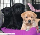 Labrador Welpen in gelb, foxred und schwarz - aus mehrfachen Therapiehundelinien - Rehden