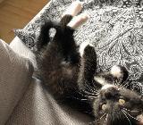 2 Maine Coon mix Kitties suchen ein neues Zuhause - Bremen